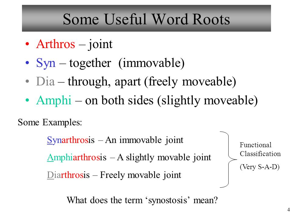 Some Useful Word Roots Arthros – joint Syn – together (immovable)