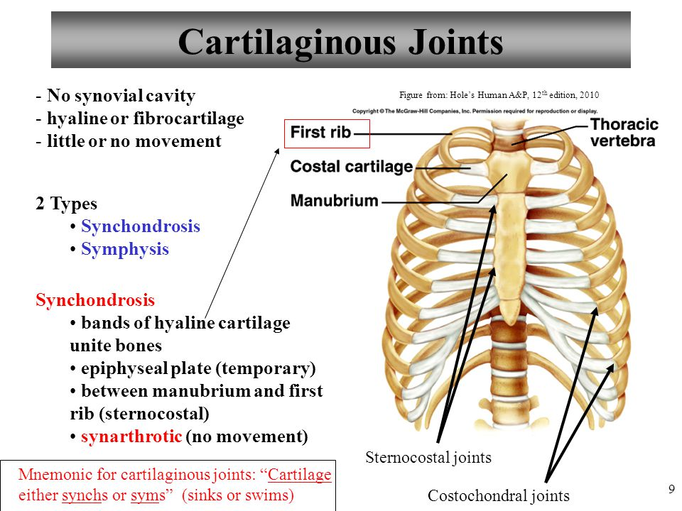 Cartilaginous Joints No synovial cavity hyaline or fibrocartilage