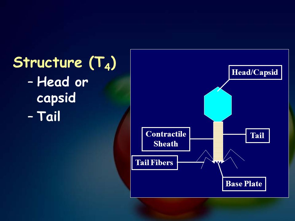 Structure (T4) Head or capsid Tail Head/Capsid Contractile Sheath Tail