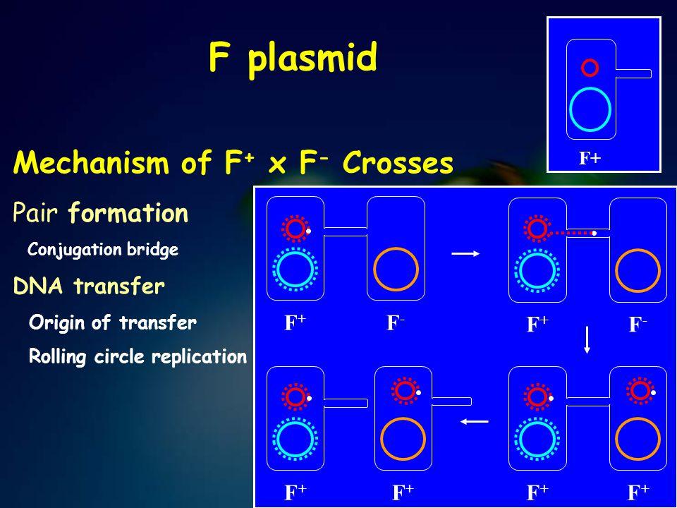 F plasmid Mechanism of F+ x F- Crosses Pair formation DNA transfer F+
