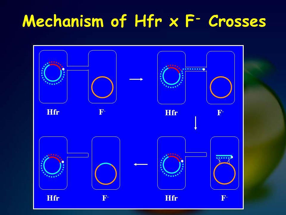 Mechanism of Hfr x F- Crosses