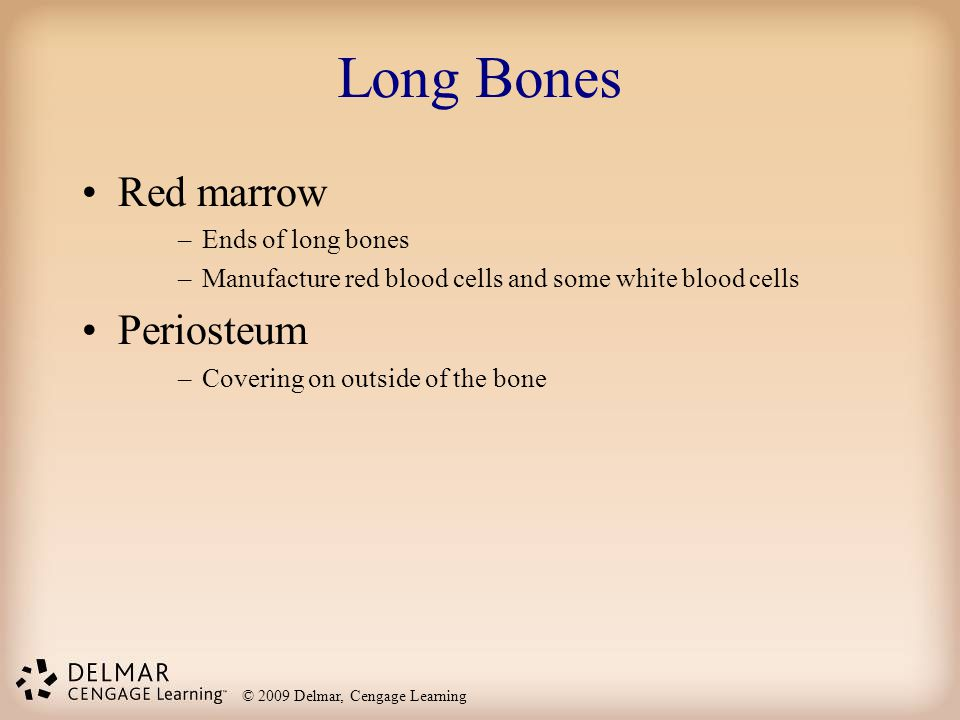 Long Bones Red marrow Periosteum Ends of long bones