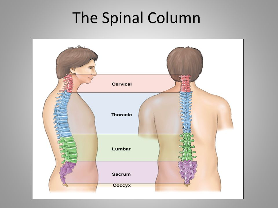 The Spinal Column Note that text on graphic may be difficult to read