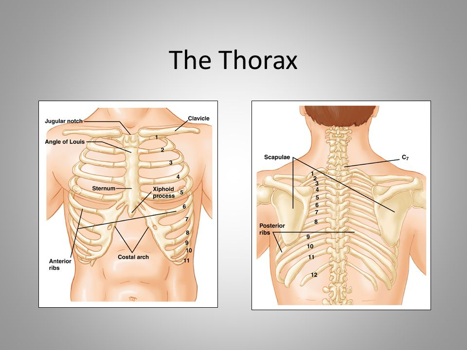 The Thorax Note that text on graphic may be difficult to read