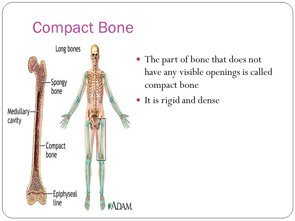 Compact Bone The part of bone that does not have any visible openings is called compact bone.