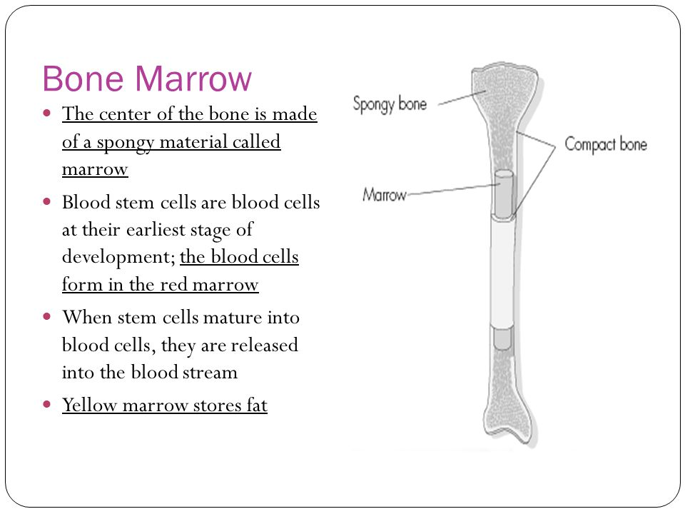 Bone Marrow The center of the bone is made of a spongy material called marrow.