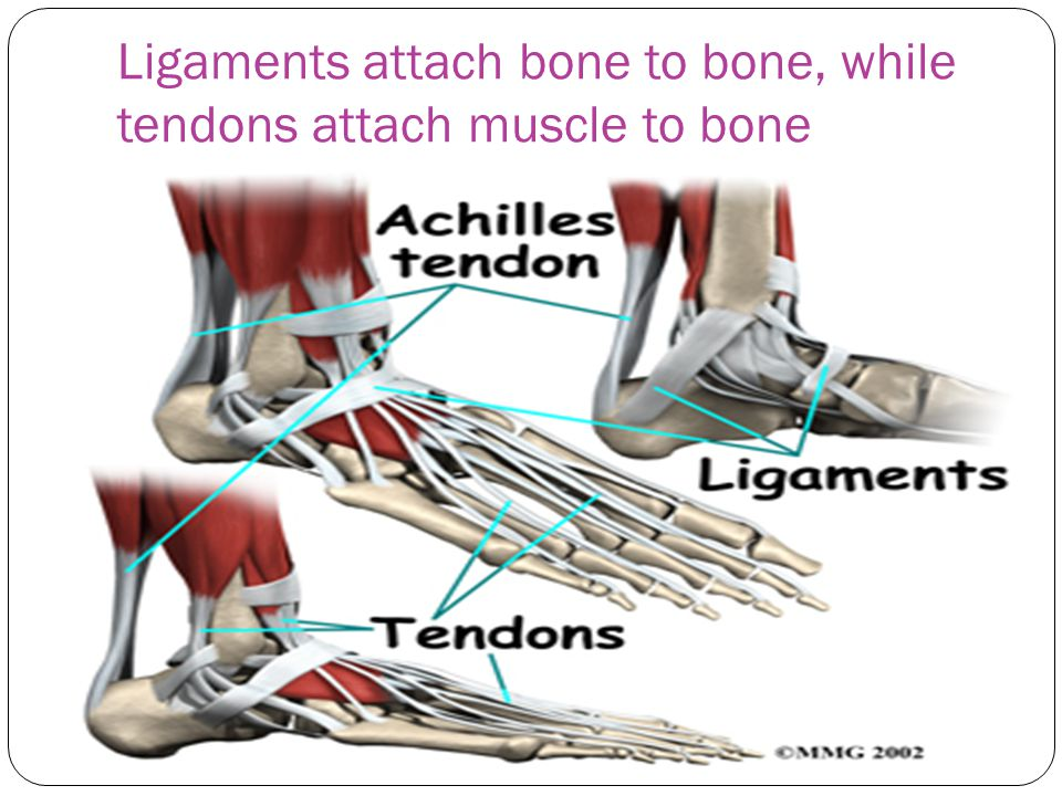 Ligaments attach bone to bone, while tendons attach muscle to bone