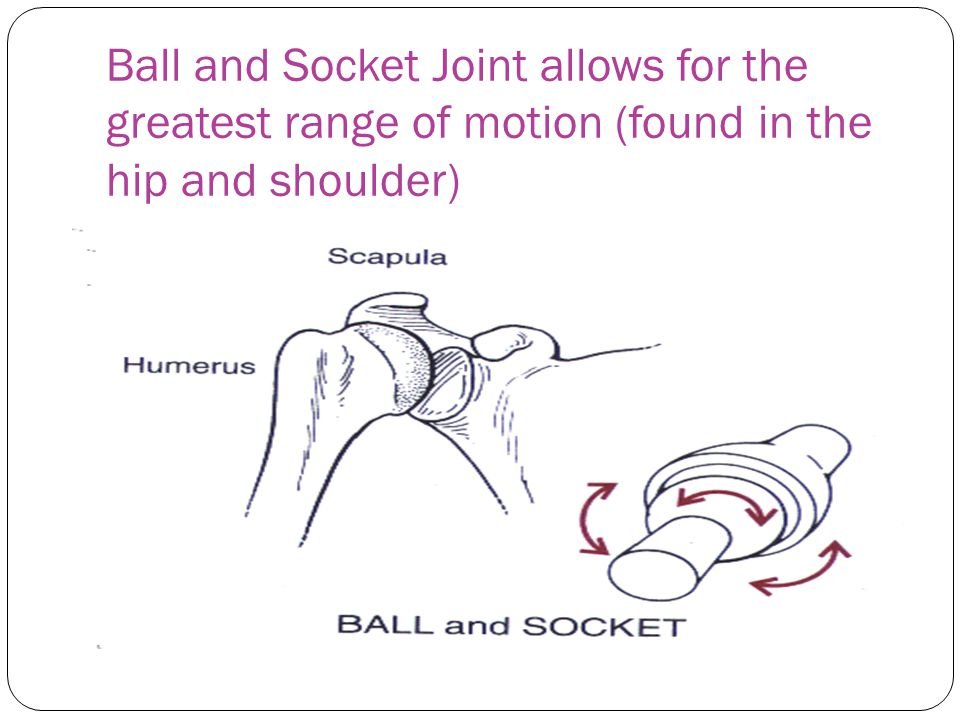 Ball and Socket Joint allows for the greatest range of motion (found in the hip and shoulder)