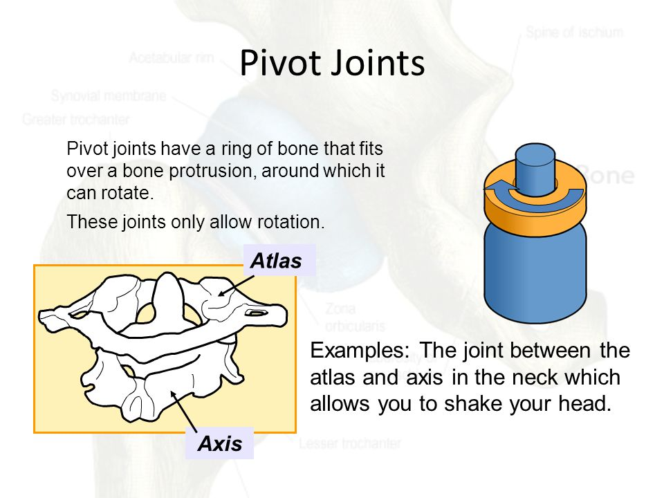 Pivot Joints Pivot joints have a ring of bone that fits over a bone protrusion, around which it can rotate.