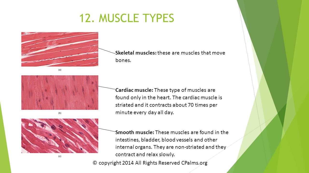 12. MUSCLE TYPES Skeletal muscles: these are muscles that move bones.