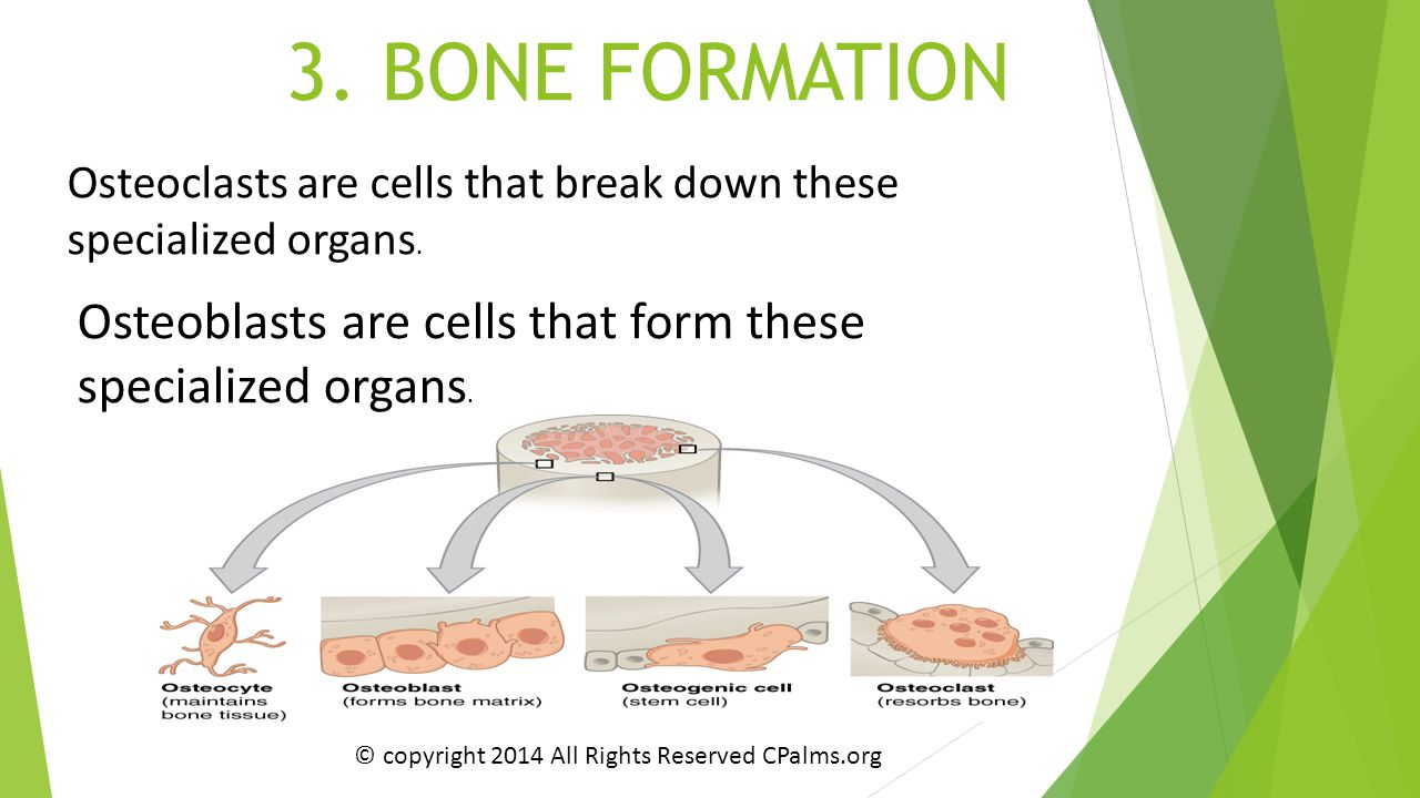 Osteoblasts are cells that form these specialized organs.