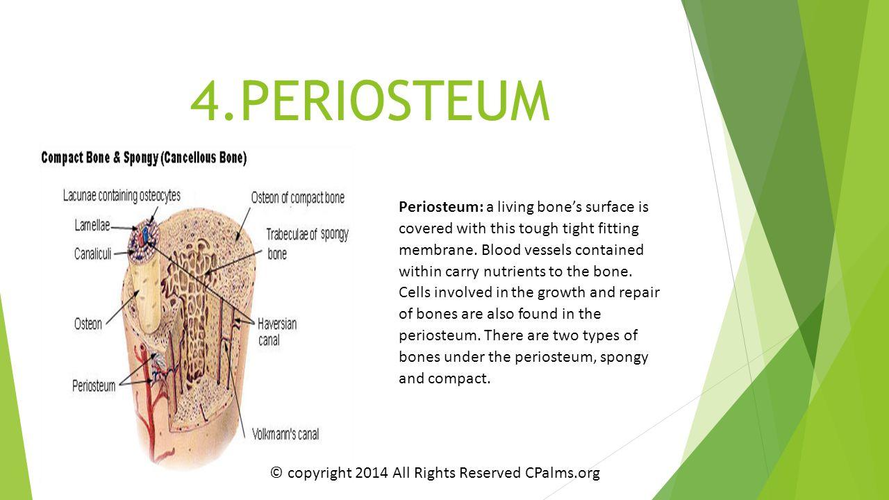 4.PERIOSTEUM