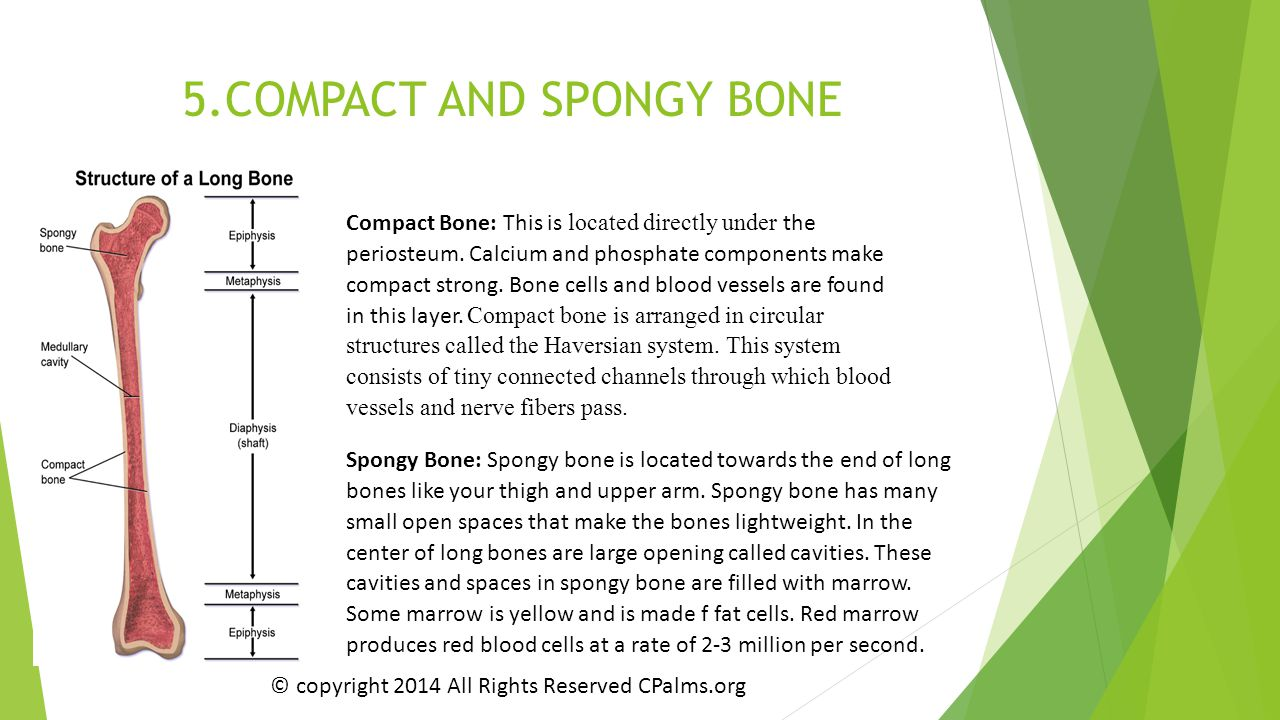 5.COMPACT AND SPONGY BONE