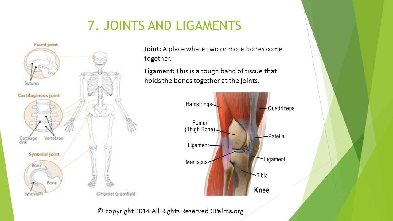 7. JOINTS AND LIGAMENTS Joint: A place where two or more bones come together.