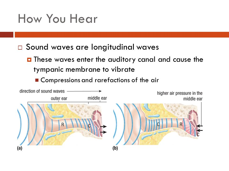 How You Hear Sound waves are longitudinal waves