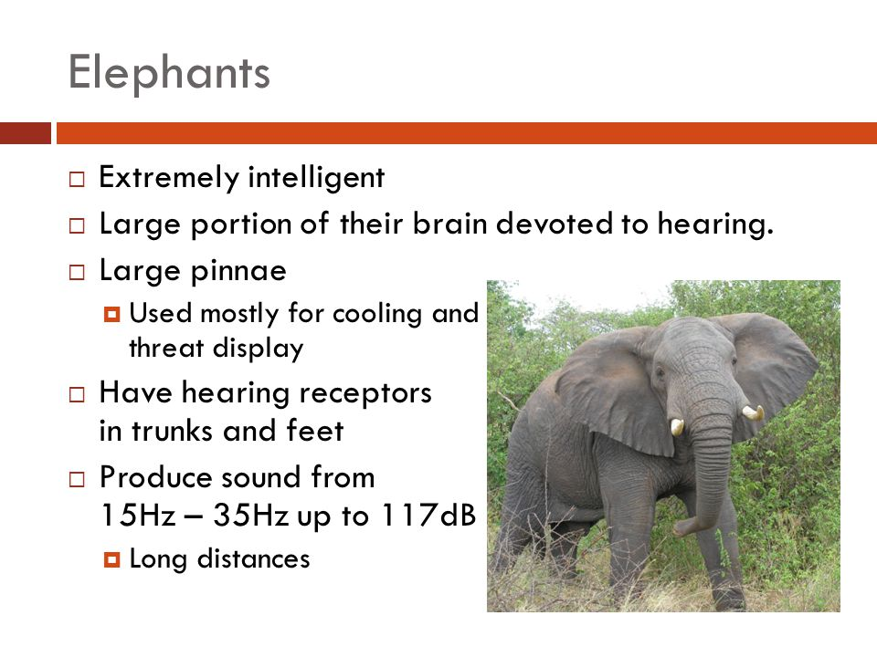 Elephants Extremely intelligent
