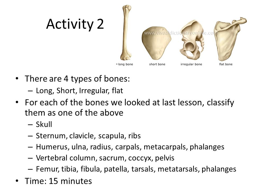 Activity 2 There are 4 types of bones: