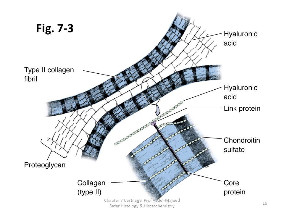 Fig. 7-3 Chapter 7 Cartilage Prof Abdel-Majeed Safer Histology & Hisctochemistry