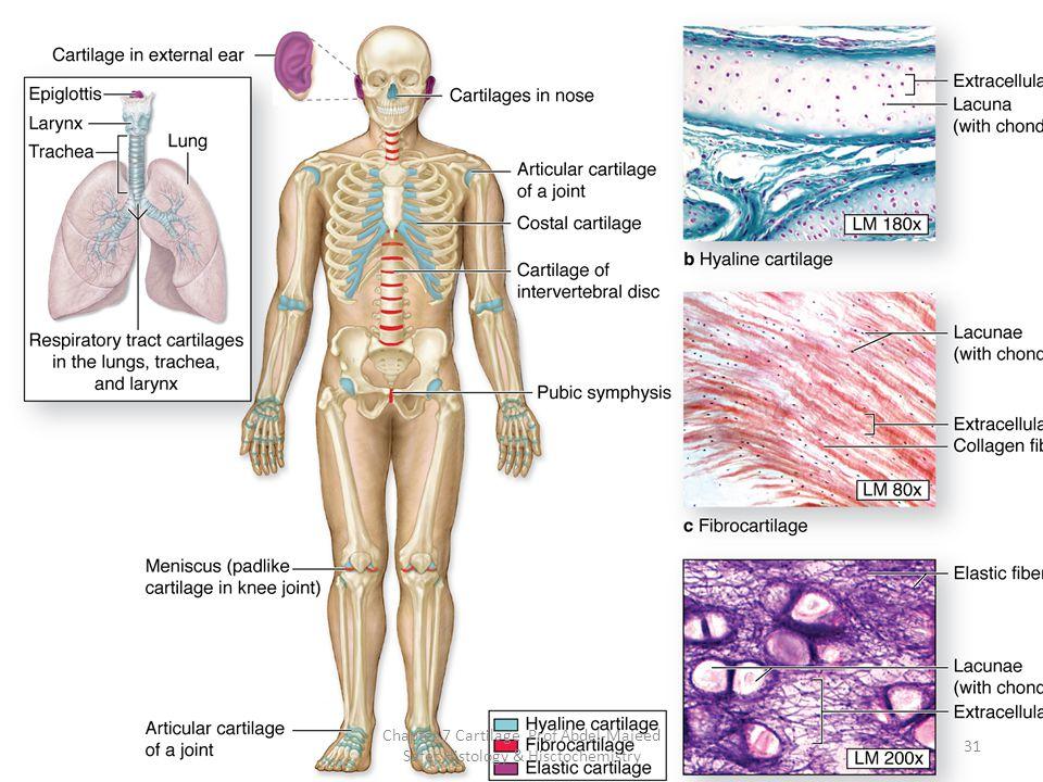 Chapter 7 Cartilage Prof Abdel-Majeed Safer Histology & Hisctochemistry