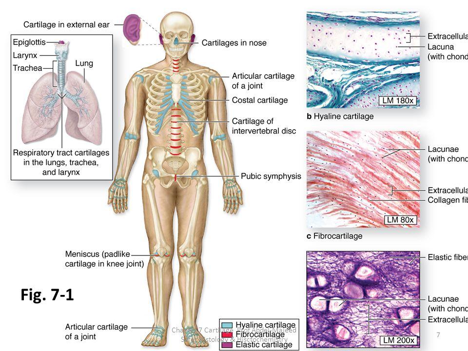 Fig. 7-1 Chapter 7 Cartilage Prof Abdel-Majeed Safer Histology & Hisctochemistry