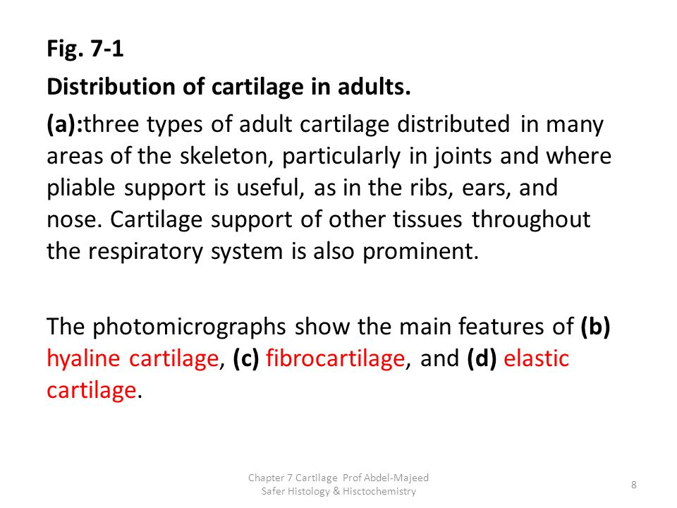 Distribution of cartilage in adults.
