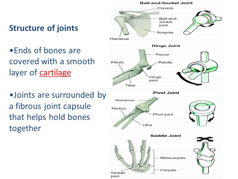 Structure of joints Ends of bones are covered with a smooth layer of cartilage.