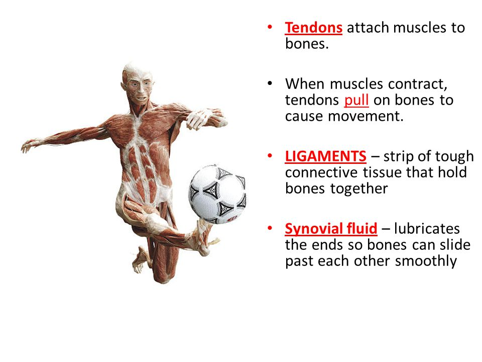 Tendons attach muscles to bones.