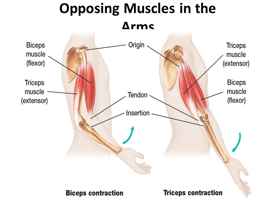 Opposing Muscles in the Arms