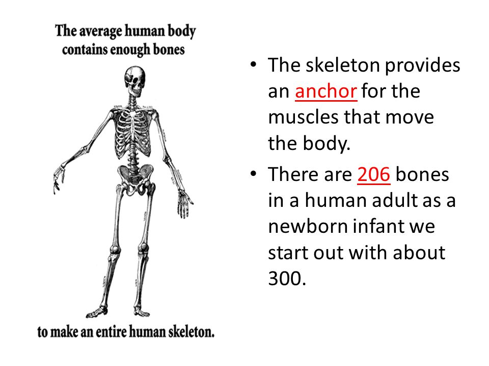 The skeleton provides an anchor for the muscles that move the body.