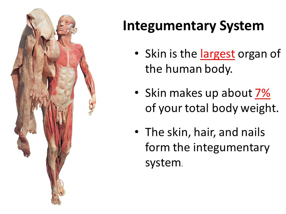 Integumentary System Skin is the largest organ of the human body.