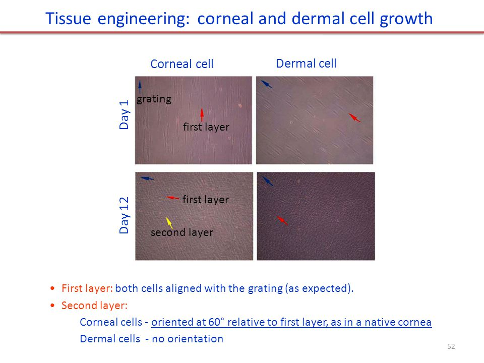 Tissue engineering: corneal and dermal cell growth