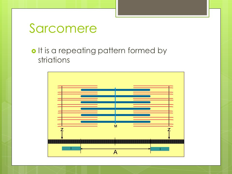 Sarcomere It is a repeating pattern formed by striations