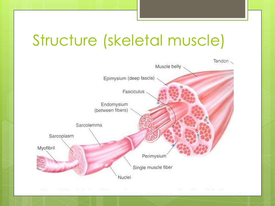 Structure (skeletal muscle)