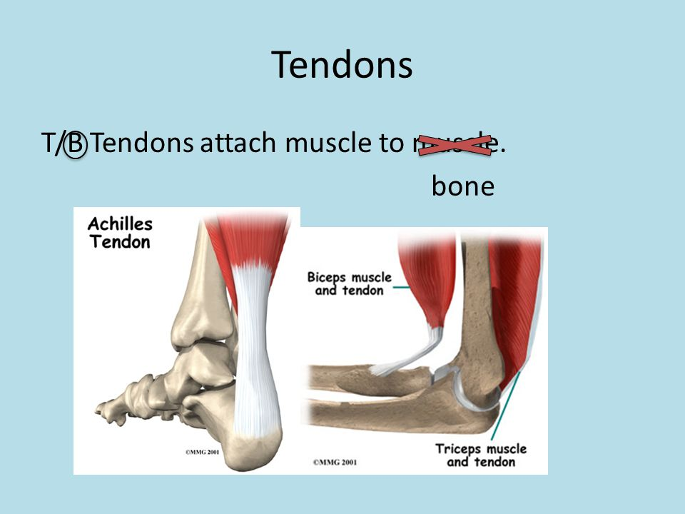 Tendons T/B Tendons attach muscle to muscle. bone