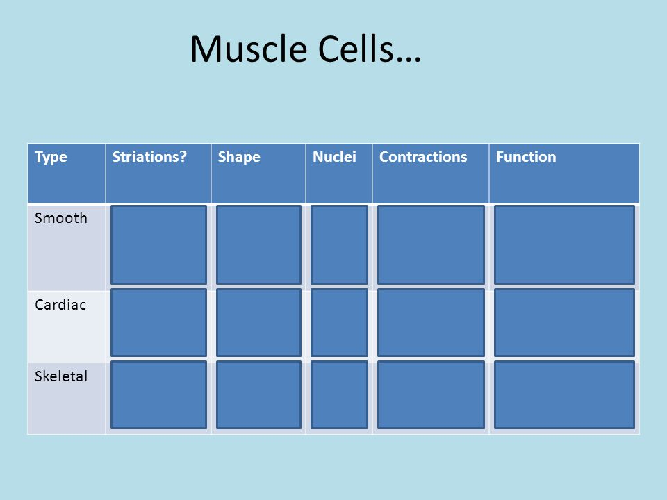 Muscle Cells… Type Striations Shape Nuclei Contractions Function
