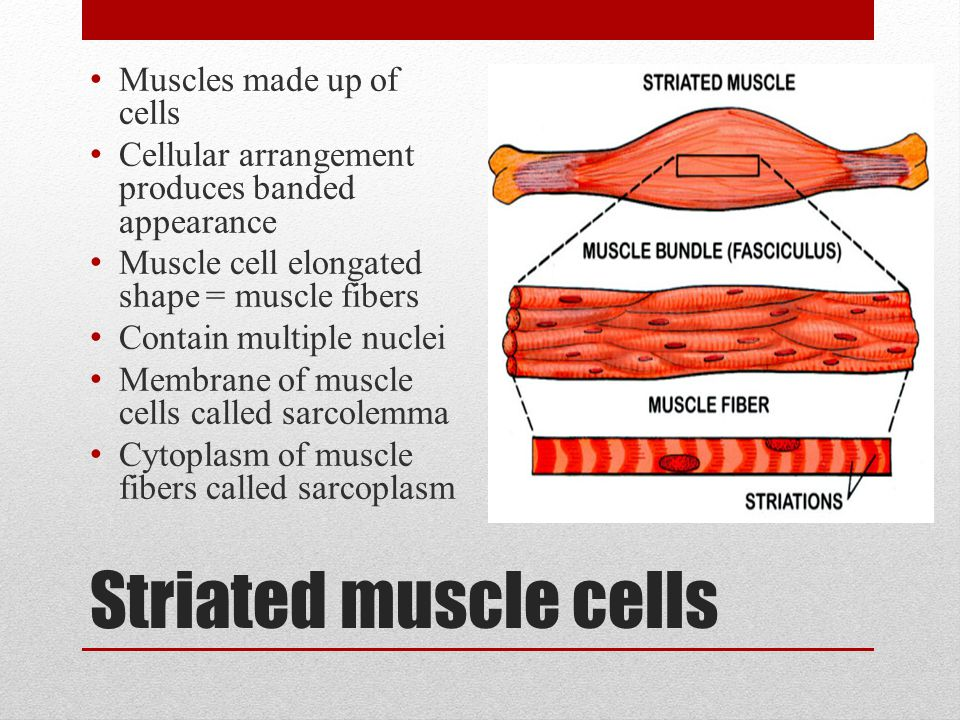 Striated muscle cells Muscles made up of cells