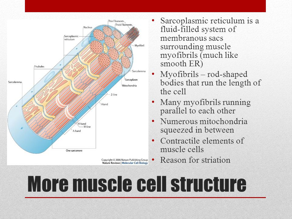 More muscle cell structure