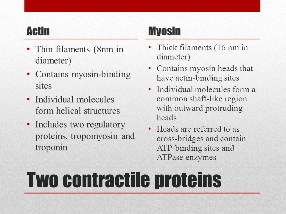 Two contractile proteins