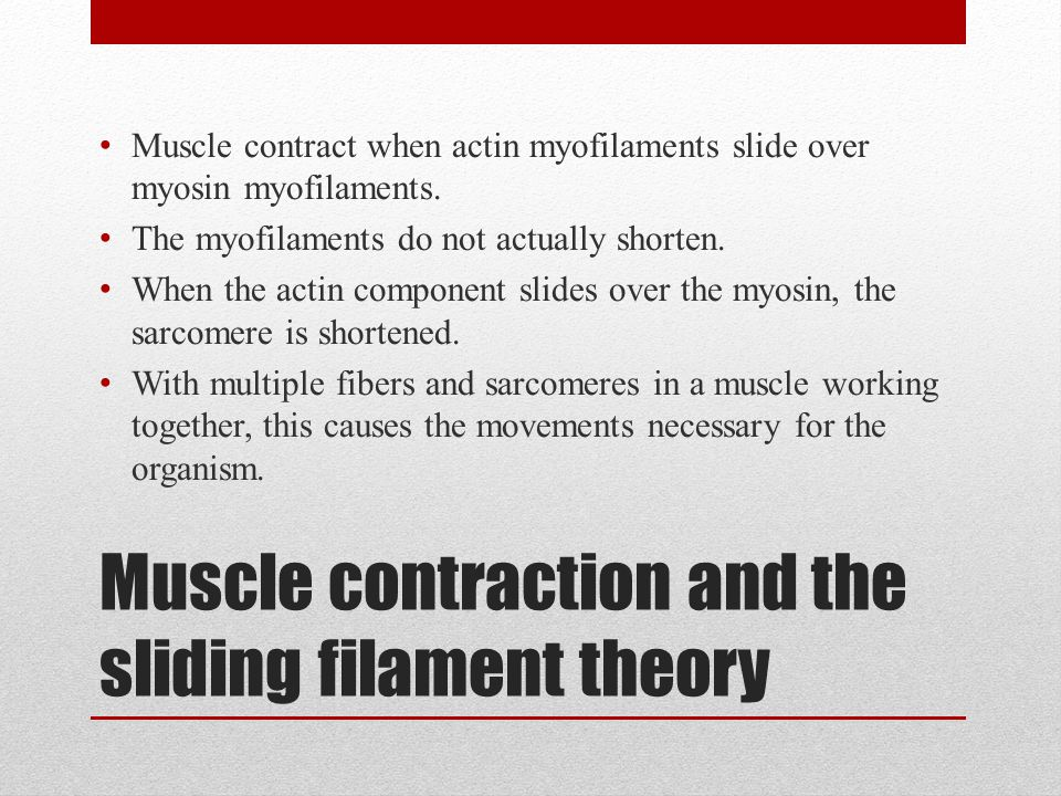 Muscle contraction and the sliding filament theory