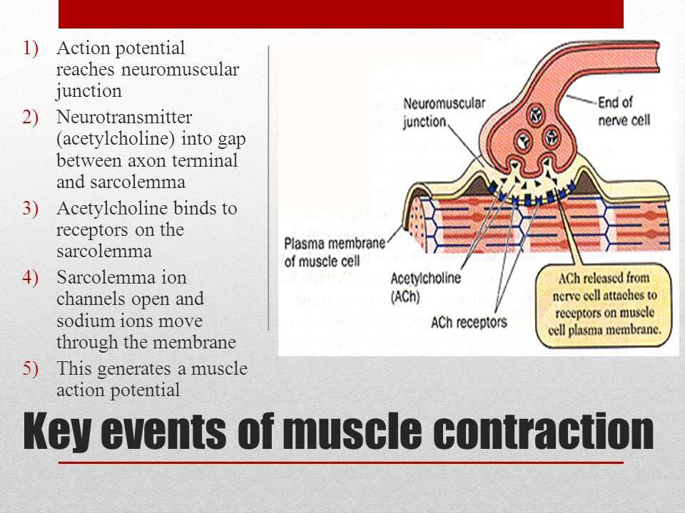 Key events of muscle contraction