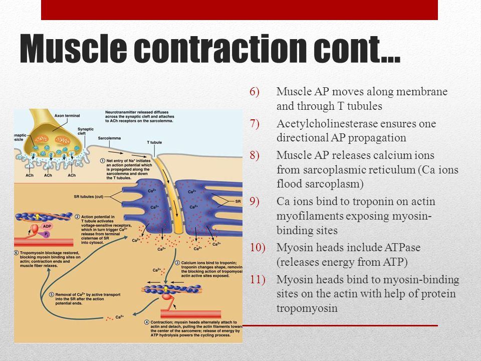 Muscle contraction cont…