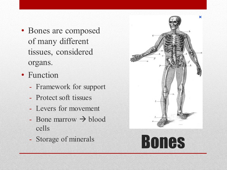 Bones Bones are composed of many different tissues, considered organs.