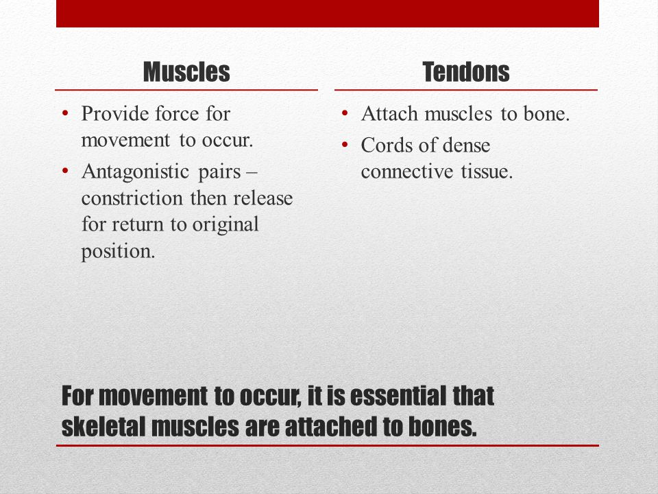 Muscles Tendons. Provide force for movement to occur. Antagonistic pairs – constriction then release for return to original position.