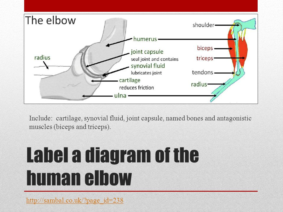 Label a diagram of the human elbow