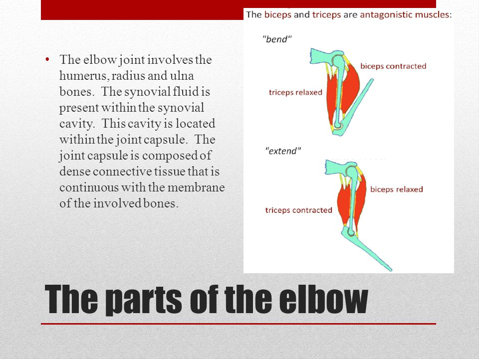 The elbow joint involves the humerus, radius and ulna bones