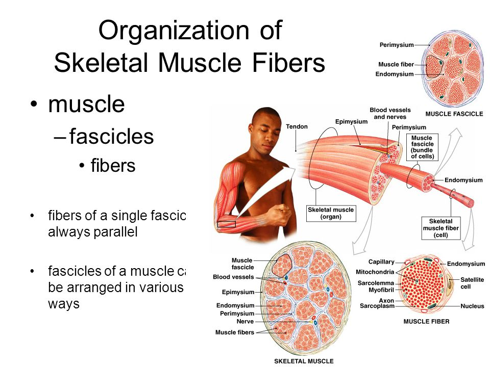 Organization of Skeletal Muscle Fibers