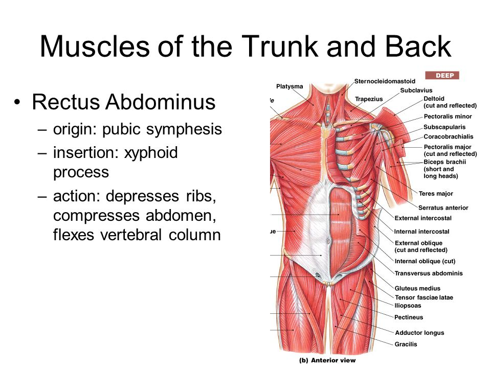 Muscles of the Trunk and Back