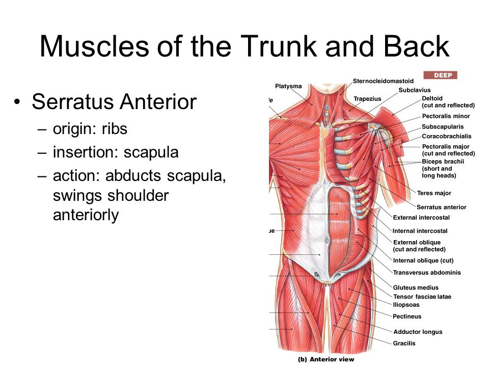 Serratus anterior anatomy 3774314 - follow4more.info