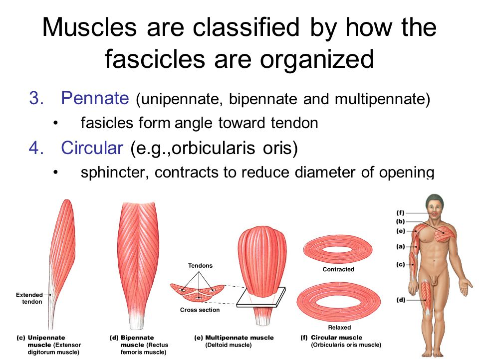 Muscles are classified by how the fascicles are organized