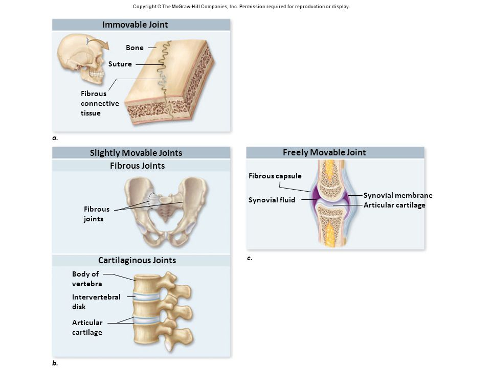 Slightly Movable Joints Freely Movable Joint Fibrous Joints